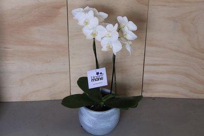 Orchidee met bijpassende pot